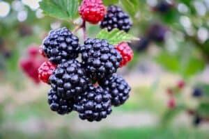 Foods that Burn Belly Fat - Blackberry